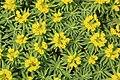 Dingli - Triq Panoramika - Cliffs - Euphorbia dendroides 06 ies.jpg