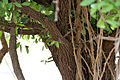 Diospyros chloroxylon leaves & trunk at Mrugavani National Park in Chilkur near Hyderabad W IMG 7421.jpg