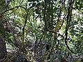 Diploclisia glaucescens (5447310897).jpg