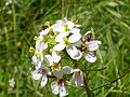Diplotaxis erucoides Flores 2013-5-01 SierraMadrona.jpg