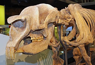 Diprotodon - Diprotodon skull, clearly showing the large front teeth for which the genus is named and the dentition adapted for browsing