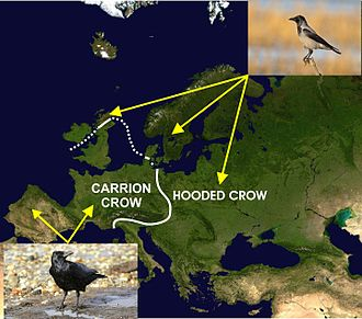 Hooded crow - A map of Europe indicating the distribution of the carrion and hooded crows on either side of a contact zone (white line) separating the two species.