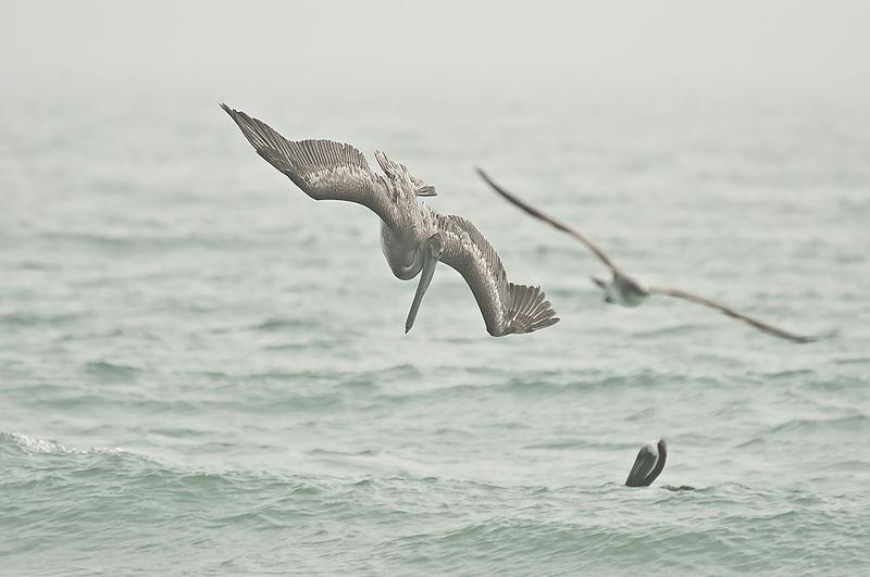 File:Diving pelican.JPG