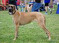 Dog niemiecki R 01.jpg