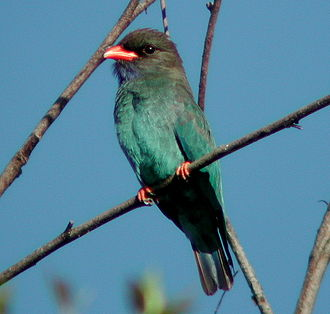 Oriental dollarbird - Adult