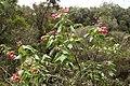 Dombeya elegans (pink) blossom.JPG