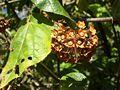 Dombeya fruits01.jpg
