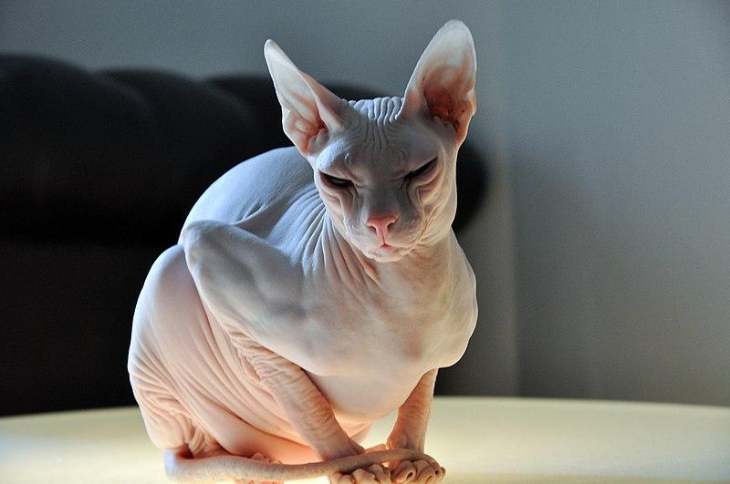 Burmese cat  Wikipedia