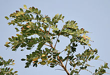 Doon Siris (Albizia procera) leaves at canopy at Jayanti, Duars, West Bengal W Picture 212.jpg