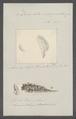Doris atromarginata - - Print - Iconographia Zoologica - Special Collections University of Amsterdam - UBAINV0274 080 21 0002.tif