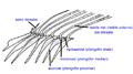 Dorsal fin pterygiophore ro.png