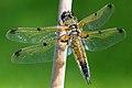 Dragonfly - panoramio - mgjb.jpg