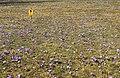 Drebacher Krokuswiesen 2H1A4927WI.jpg
