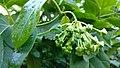 Dregea volubilis -flower bunch.jpg