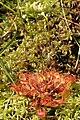 Drosera.rotundifolia2.-.lindsey.jpg