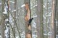 Dryocopus martius in the Teufelsbruch 2021-02-10 03.jpg