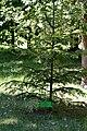 Dubechne Starovyzhivskyi Volynska-Dubechnivskyi park architecture monument-Abies alba.jpg