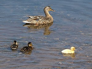 "English: Duck and ducklings, Frogmore ""Go..."