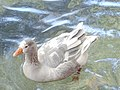 Duck at Rashine River, in Rashine Zgharta in North Lebanon Summer 2016.jpg