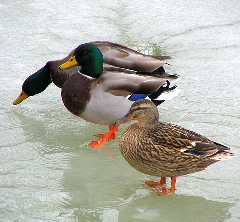 Ducks Winter-2.jpg