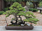 Dwarf Japanese Garden Juniper, GSBF-CN 178, September 12, 2008.jpg