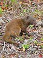Dwarf Mongoose (Helogale parvula) eating a lizard ... (33221176072).jpg
