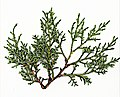 E20160729-0003 — Cupressus nevadensis — RPBG (28549153902).jpg