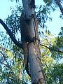 E9766-Megalong-big-goanna.jpg