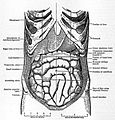 EB1911 Alimentary Canal Fig. 1.—The Abdominal Viscera in situ.jpg