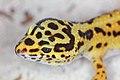 EUBLEPHARIS-MACULARIUS Leopard-Gecko Leopardgecko 201705276011.jpg