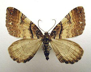 <i>Earophila badiata</i> Species of moth