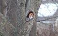 Eastern Screech Owl in red morph and gray morph.jpg