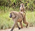 Easyride, Olive Baboons, Uganda (15187640756).jpg