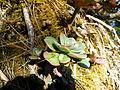 Echeveria aff. montana (5740159112).jpg