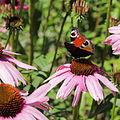 Echinacea purpurea-IMG 5673.jpg