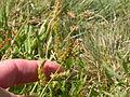 Echinochloa crusgalli (3874044293).jpg