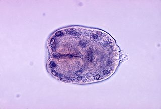 <i>Echinococcus granulosus</i> Species of flatworm