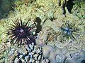 Echinothrix.jpg