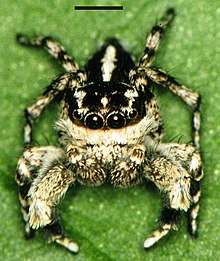 Edwards Habronattus georgiensis 01.jpg