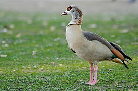 Egyptian geese looking away.jpg