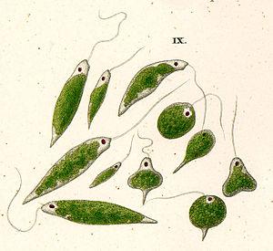 Euglenid - Euglena viridis, by Ehrenberg
