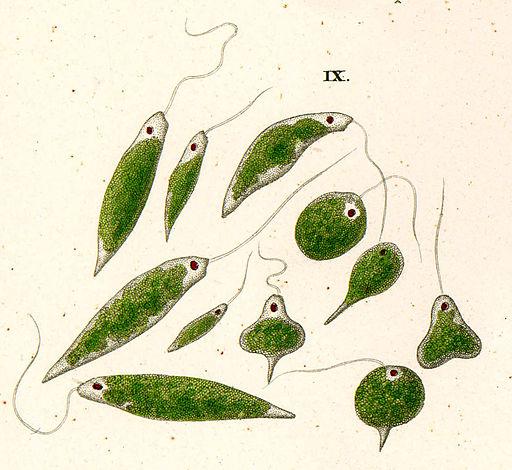 Ehrenberg euglena viridis