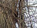 Eichhörnchen - panoramio (1).jpg