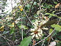 Elaeagnus conferta-1-yercaud-salem-India.JPG