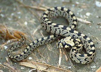 Ladder snake - Image: Elaphe Scalaris Young 199206 France