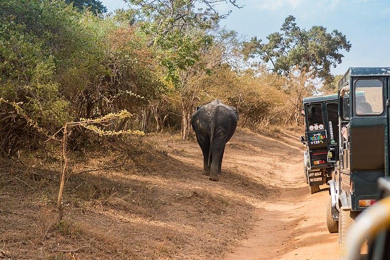 File:Elefant im Yala Nationalpark Sri Lanka (29779153790).jpg