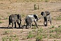 Elephants in Chobe National Park 03.jpg