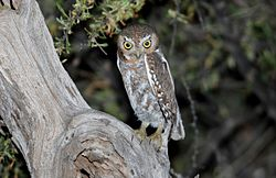 Elf Owl (Micrathene whitneyi) (17210856942).jpg