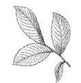 Elm leaf 1 (PSF).png
