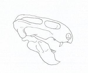 Emydops - Skull